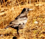 American crow I77A2810© Maria de Bruyn res