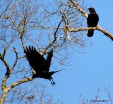 American crow I77A3878© Maria de Bruyn res
