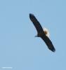 bald eagle I77A3030© Maria de Bruyn