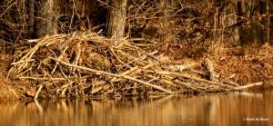 beaver I77A0125© Maria de Bruyn res