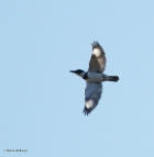 belted kingfisher I77A4014© Maria de Bruyn
