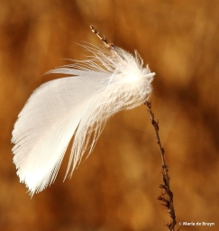bird feather I77A2711© Maria de Bruyn res