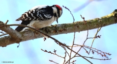 downy woodpecker I77A2504© Maria de Bruyn res