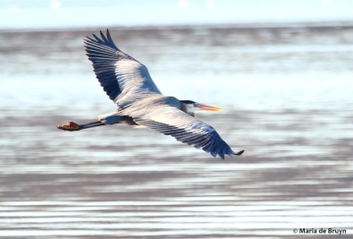 great blue heron I77A2558© Maria de Bruyn res