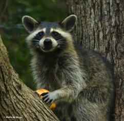 raccoon DK7A4248© Maria de Bruyn res