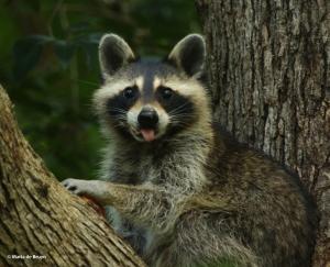 raccoon DK7A4351© Maria de Bruyn