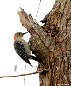 Red-bellied woodpecker I77A5384© Maria de Bruyn res
