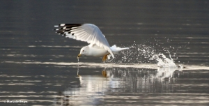 ring-billed gull I77A5497© Maria de Bruyn res