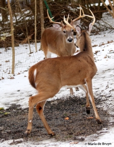 white-tailed deer I77A1127© Maria de Bruyn res