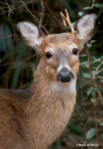 white-tailed deer I77A1366© Maria de Bruyn res