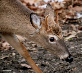 white-tailed deer I77A1367© Maria de Bruyn res