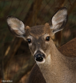 white-tailed deer I77A2025© Maria de Bruyn res