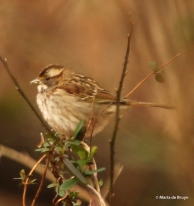 white-throated sparrow I77A6115© Maria de Bruyn