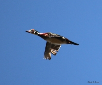 wood duck I77A3718© Maria de Bruyn res