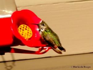 Calliope hummingbird I77A6566© Maria de Bruyn