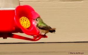 Calliope hummingbird I77A6756© Maria de Bruyn