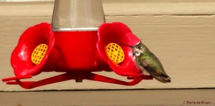 Calliope hummingbird I77A6799© Maria de Bruyn