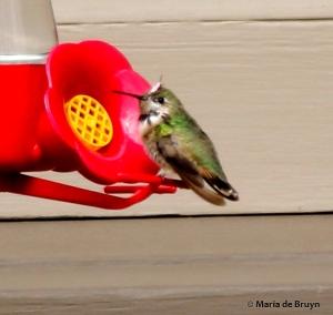Calliope hummingbird I77A6897© Maria de Bruyn