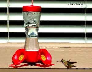 Calliope hummingbird I77A6939© Maria de Bruyn res
