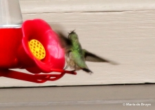Calliope hummingbird I77A7075© Maria de Bruyn