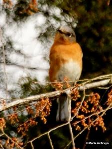 Eastern bluebird I77A6750© Maria de Bruyn card