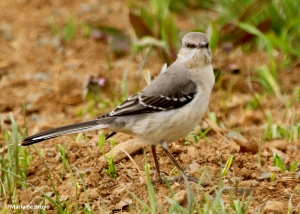 Northern mockingbird I77A7118© Maria de Bruyn res
