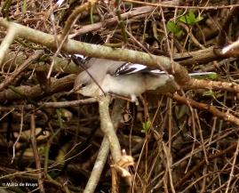 Northern mockingbird I77A7172© Maria de Bruyn