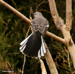 Northern mockingbird I77A7425© Maria de Bruyn