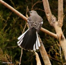 Northern mockingbird I77A7425© Maria de Bruyn
