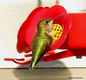 Rufous hummingbird IMG_2657© Maria de Bruyn