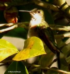 Rufous hummingbird IMG_2669© Maria de Bruyn