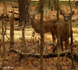 white-tailed deer IMG_2374© Maria de Bruyn