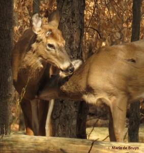 white-tailed deer IMG_2413© Maria de Bruyn