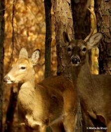 white-tailed deer IMG_2440© Maria de Bruyn