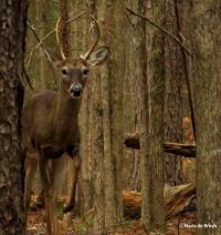 white-tailed deer IMG_2489© Maria de Bruyn