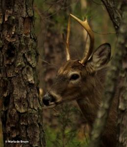 white-tailed deer IMG_2496 © Maria de Bruyn