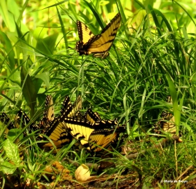 Eastern tiger swallowtail IMG_3259© Maria de Bruyn res