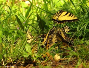 Eastern tiger swallowtail IMG_3447© Maria de Bruyn res