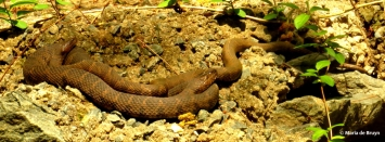northern watersnake IMG_3406© Maria de Bruyn