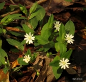 star chickweed IMG_3095© Maria de Bruyn