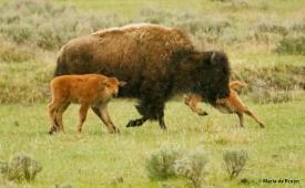 bison I77A1441© Maria de Bruyn res