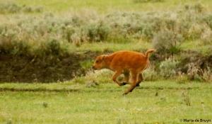 bison I77A1450© Maria de Bruyn res