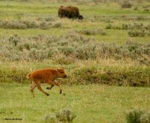 bison I77A1473© Maria de Bruyn res