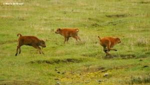 bison I77A1519© Maria de Bruyn res