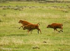bison I77A1539© Maria de Bruyn res