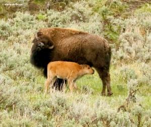 bison I77A1624© Maria de Bruyn res