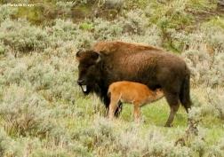 bison I77A1667© Maria de Bruyn res