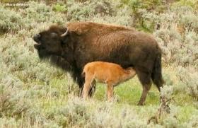 bison I77A1679© Maria de Bruyn res