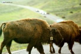 bison I77A1714© Maria de Bruyn res