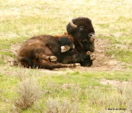 bison I77A6605© Maria de Bruyn res